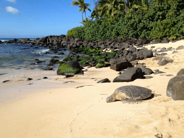 Bucket List Watching Swimming With Turtles At Laniakea Beach In Oahu This Adventure
